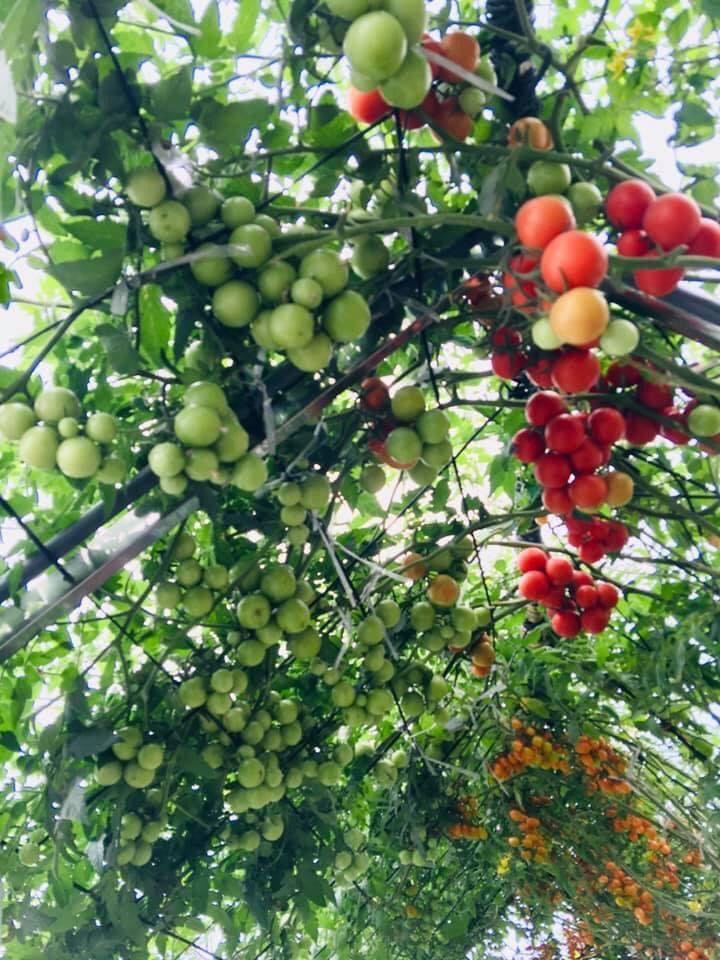 Khu vườn sân thượng xanh mướt, trĩu quả như nông trại của mẹ đảm Quảng Ninh