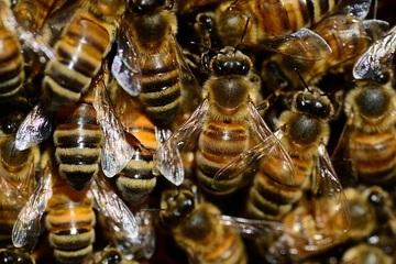 Hà Lan huấn luyện ong để chẩn đoán Covid-19