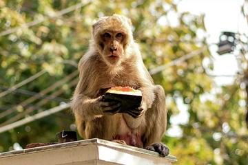 Không có khách du lịch, các resort nghỉ dưỡng Ấn Độ bị... khỉ xâm chiếm