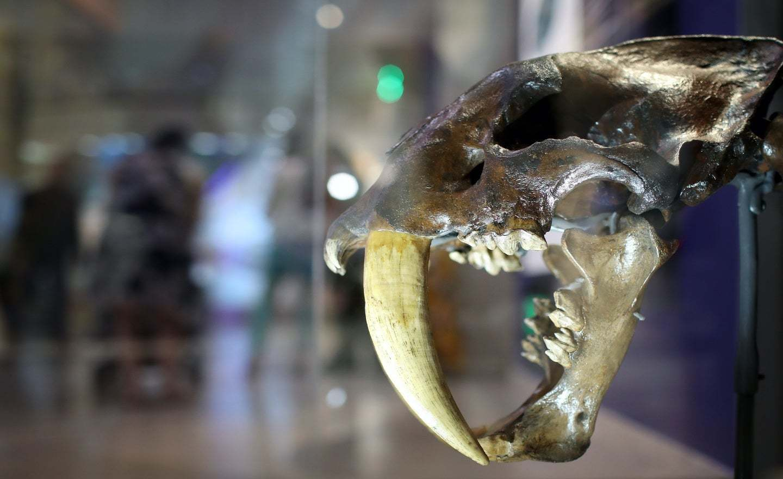 Mèo răng cưa, kích thước khủng săn được cả tê giác