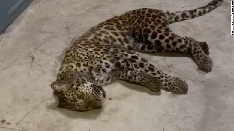 Ba con báo trốn thoát khỏi sở thú ở Trung Quốc gây náo loạn