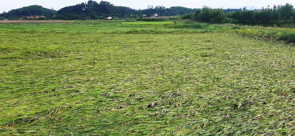 Nghệ An: Dông lốc bất ngờ, hàng chục ngôi nhà tốc mái, lúa đổ rạp cả ngàn hecta