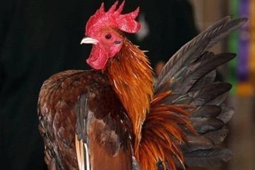 Khả năng đặc biệt của gà tí hon nhỏ nhất thế giới