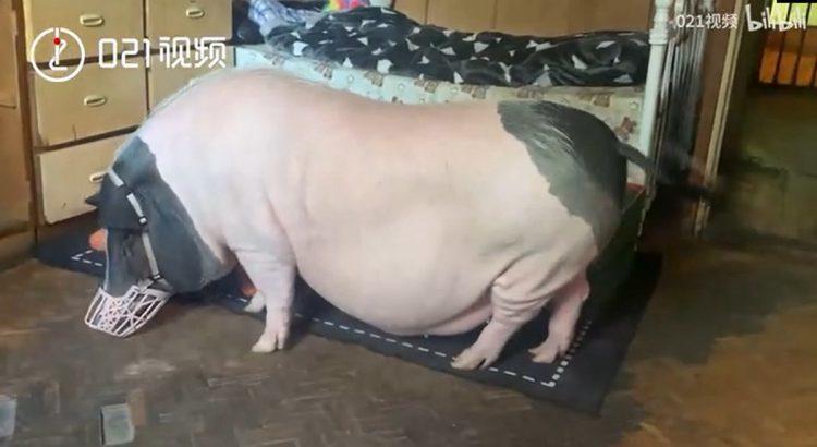 Nuôi heo 150 kg làm thú cưng