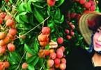 Đặc sản vải thiều Hải Dương bán trên sàn Lazada có giá 150.000 đồng/kg