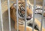Bạo gan nuôi hổ Bengal làm thú cưng trong nhà