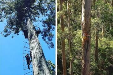 Cây cao khổng lồ 165 bậc thang thách thức dân mạo hiểm Australia