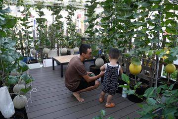 """Ngạc nhiên sân thượng 70m2 trồng dưa lưới đẹp như vườn mẫu """"10 quả như 1"""""""
