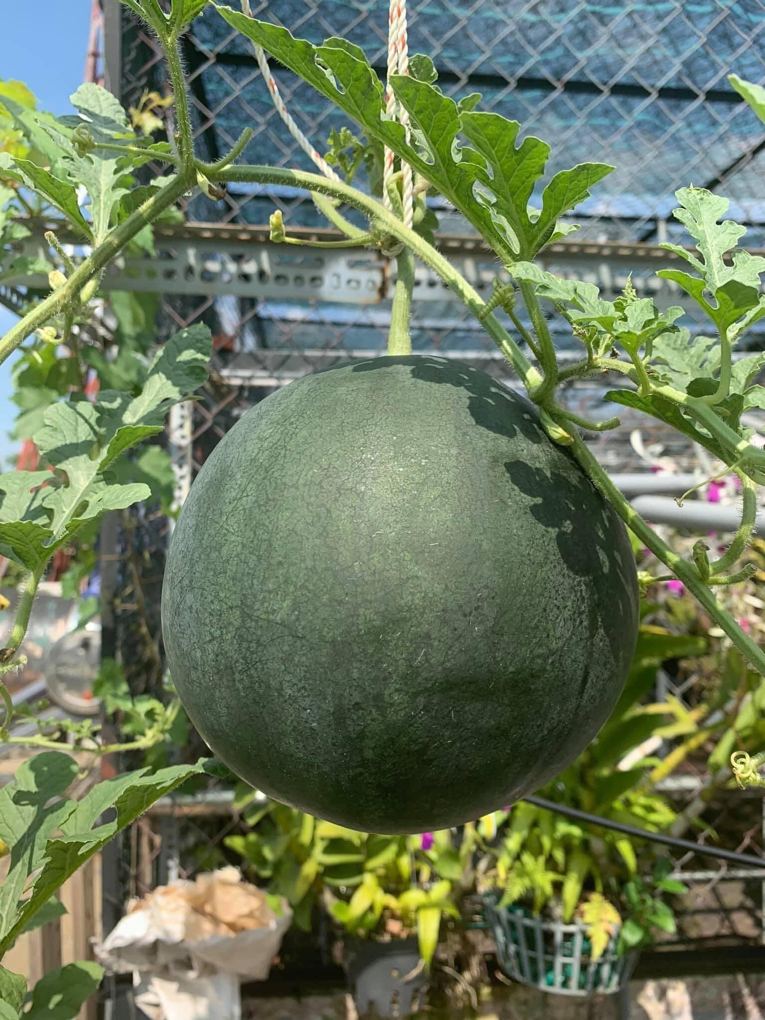 Ngạc nhiên sân thượng 70m2 trồng dưa lưới đẹp như vườn mẫu '10 quả như 1'