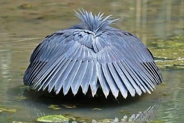 Chim khôn biến mình thành chiếc ô để săn mồi