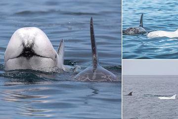 Phát hiện cá voi trắng quý hiếm ngoài khơi bờ biển Mỹ