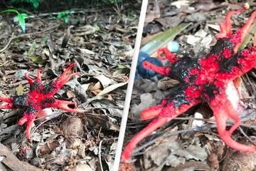 Sinh vật lạ màu đỏ đẹp mắt nhưng có mùi kinh khủng nhất thế giới