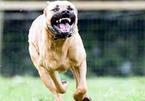 Pitbull - chó chọi nguy hiểm cắn chết nhiều người, có cấm nuôi?