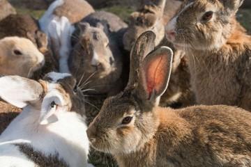 Hàng ngàn con thỏ 'chiếm đóng' hòn đảo Nhật Bản