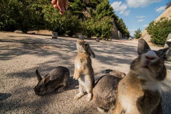 nhật bản,thỏ,đảo Okunoshima
