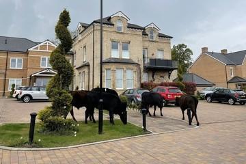 Bỏ trốn khỏi làng quê, 7 con bò đực hung hăng rủ nhau chiếm đóng thành thị