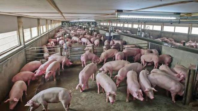 Xuất khẩu lợn sang Campuchia cần đáp ứng đầy đủ yêu cầu kiểm dịch