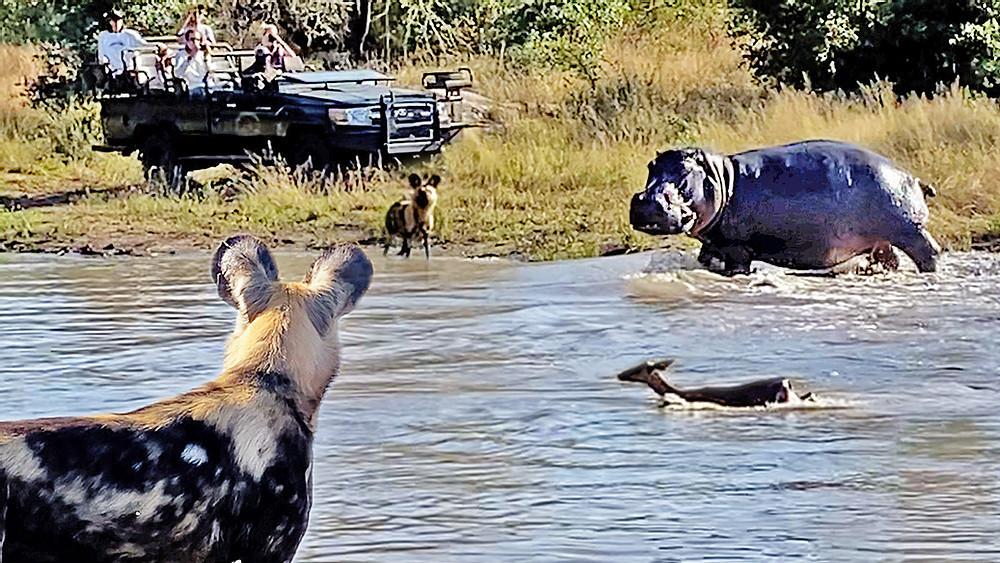 Cuộc chiến sinh tử tay ba giữa chó hoang, hà mã và linh dương