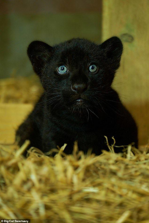 Lần hiếm hoi báo đen sinh ra trong khu bảo tồn Anh
