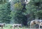 Sự thật về đàn sói giúp giảm tai nạn giao thông ở Mỹ