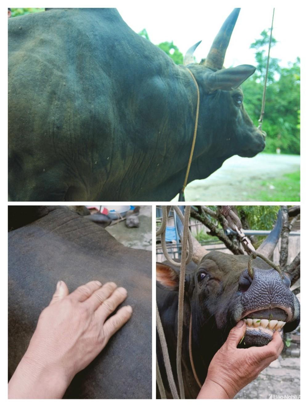 Chải lông, tập thể dục cho bò chọi, người Mông ở Nghệ An bán giá hàng nghìn đô mỗi con