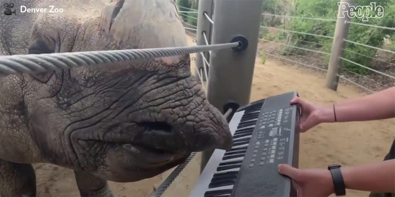 Tê giác chơi đàn piano bằng miệng trong sự kiện đặc biệt