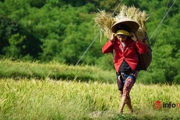 Nông dân miền núi xứ Thanh oằn lưng gùi gần nửa tạ lúa trong nắng nóng thiêu đốt