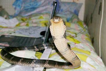 Mua rắn hổ mang về nuôi làm thú cưng, người đàn ông nhận kết đắng