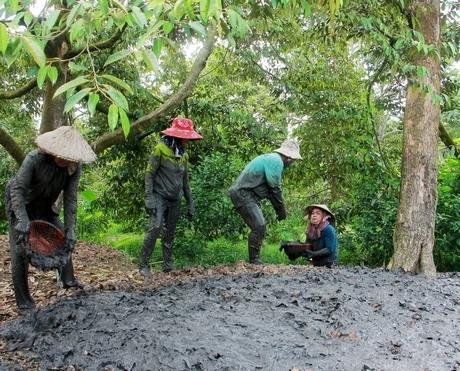 Sầu riêng tại vườn 50.000 đồng/kg và nỗi sầu hạn mặn