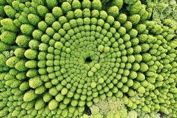 Những vòng tròn cây kỳ lạ ở Nhật là sản phẩm của người ngoài hành tinh?