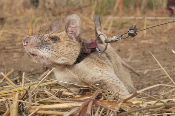 chuột,thú cưng,campuchia,chuột dò mìn,Magawa