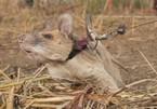 Chuột dò mìn siêu đẳng nhận được nhiều bằng khen bất ngờ giải nghệ sau 5 năm