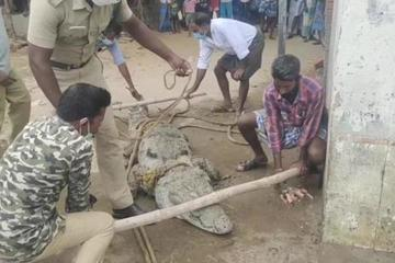 Con cá sấu dài hơn 3m xuất hiện trước cửa nhà, cả làng hô nhau đi bắt