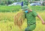 Công an gặt lúa giúp người dân ở Bắc Giang: Tranh thủ cuối tuần và sau giờ hành chính hỗ trợ bà con nhiều nhất