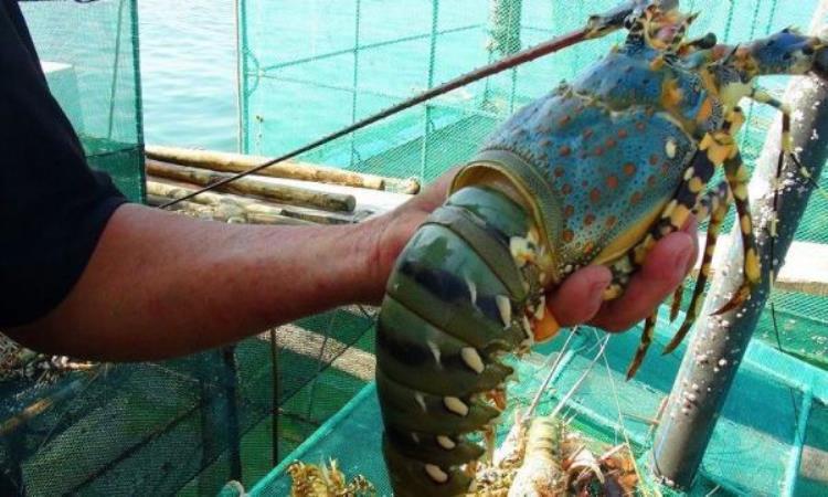 Tăng cường quản lý tôm hùm nuôi trong thời điểm giao mùa