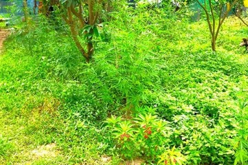 Người ngoại quốc thuê 3.000m2 đất trồng cần sa ở bãi giữa sông Hồng, xử lý thế nào?