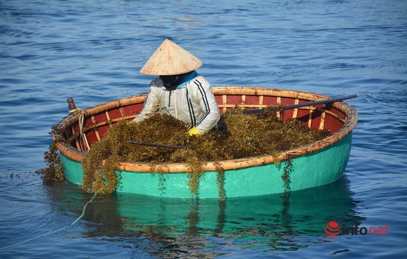 quảng nam,rong mơ,rau câu,xã đảo,tam hải,lặn biển,nghề biển