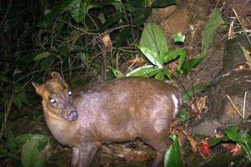 Huế: Phát hiện 2 loại động vật trong sách đỏ ở Phong Điền nhờ bẫy ảnh