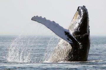 Thợ lặn thoát khỏi 'tử thần' sau khi rơi vào miệng cá voi lưng gù