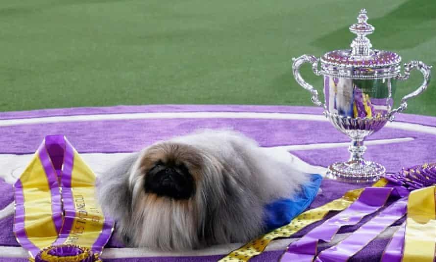 Thú cưng khắp thế giới tranh tài cuộc thi chó thuần chủng lần thứ 145