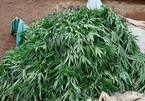 Mua hạt 'cây dược liệu' về trồng, nảy ra hơn 200 cây cần sa