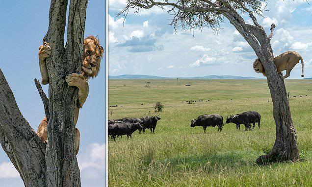 Phì cười sư tử nhát gan trèo lên cây trốn đàn trâu rừng