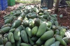 Nông sản rớt giá, nông dân miền Tây 'khóc thét' vì giá xoài, mít chỉ còn 2.000-3.000 đồng/kg