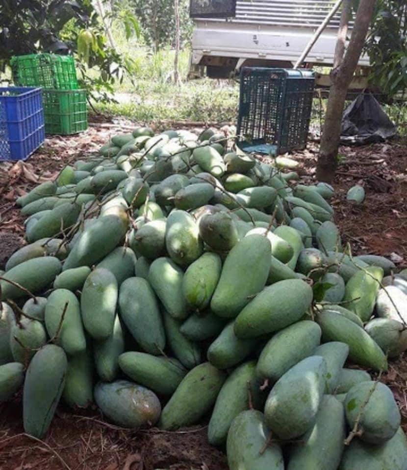 Nông sản rớt giá,Xoài Đài Loan,Mít Thái