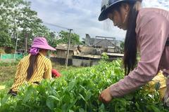 Cây thoát nghèo của đồng bào dân tộc thiểu số ở Lào Cai