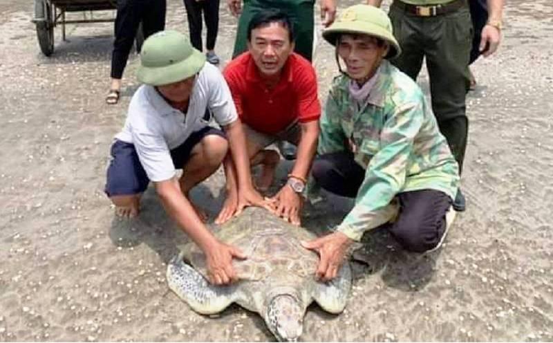 Nghệ An: Cá thể rùa biển quý hiếm nặng hơn 30kg được thả về với tự nhiên