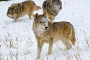 Kinh hoàng cảnh đàn sói rượt đuổi diễn viên ngay trong buổi biểu diễn
