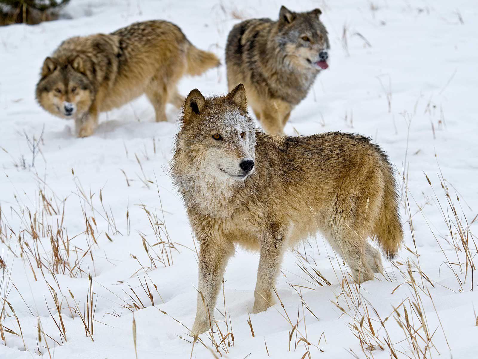 sói,trung quốc
