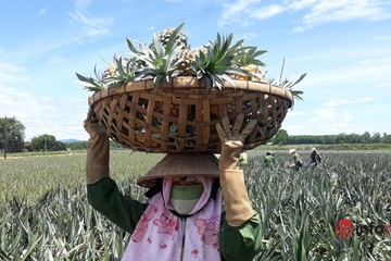 Nông dân thu hoạch dứa giữa nắng nóng thiêu đốt, giá dứa đã giảm mất nửa