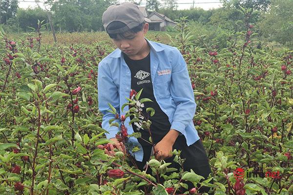 Trồng loài cây chỉ lấy hoa đỏ, mỗi năm người dân thu cả trăm triệu đồng